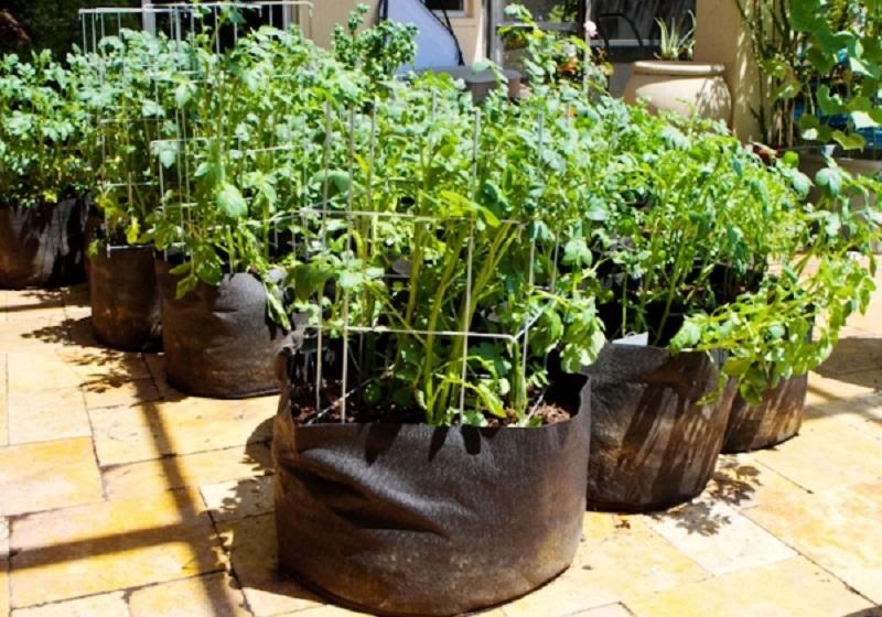 Выращивание картофеля дома 34